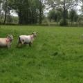 shorn sheep in lush field, Rathanna. june2017