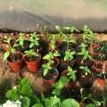 sunflower seedings
